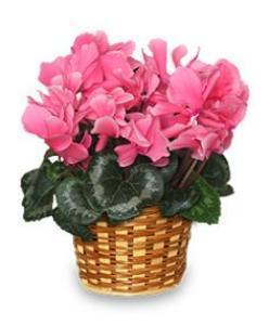 Cyclamen Plant Pink