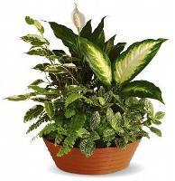 Sympathy plant Arrangement