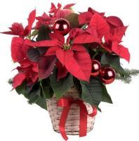 Poinsettia Plant Basket