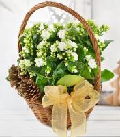 White Kalanchoe Gift
